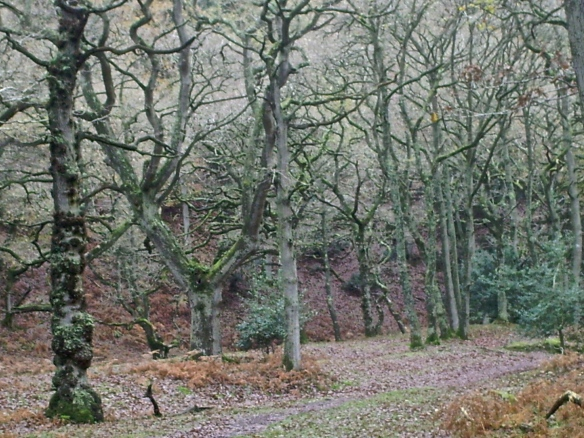 Quantock Oak