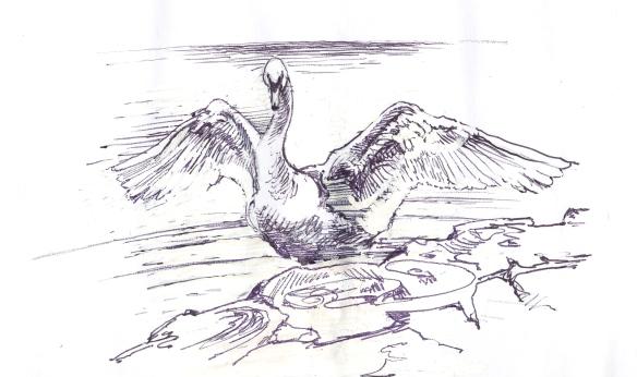 swan wing rises