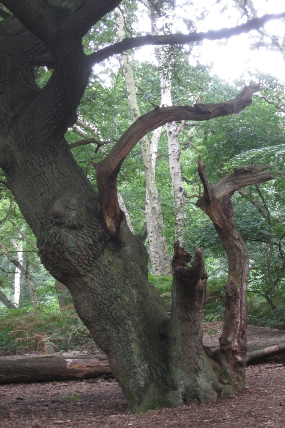 Oak and beech: the old and the young