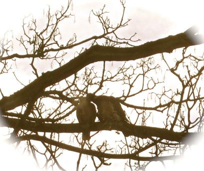 13 pigeons in spring 1