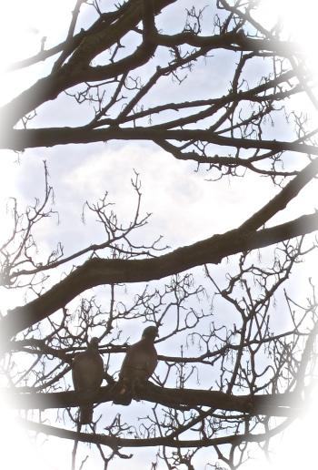 14 pigeons in spring 2