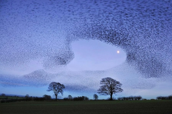 murmuration of starlings, gretna green by jchip84