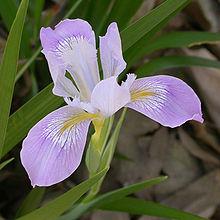 Iris_douglasiana_flower