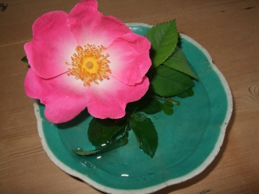 rose in saucer