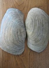 clam giant tao